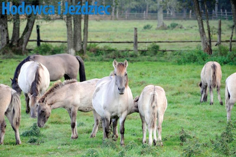 Objawy piroplazmozy, takie jak przemijająca gorączka, zmniejszona tolerancja na wysiłek, spadek apetytu, są trudne do zaobserwowania, jeśli koń przebywa głównie na pastwisku