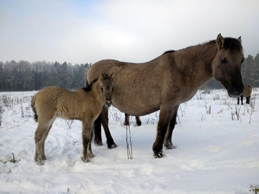 Koniki polskie zimą