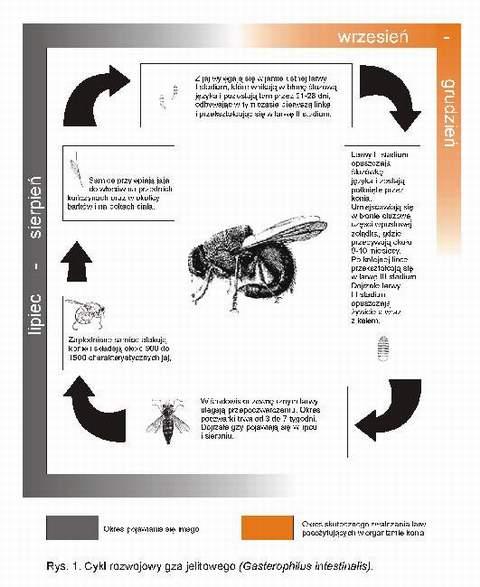 Cykl rozwojowy gza jelitowego