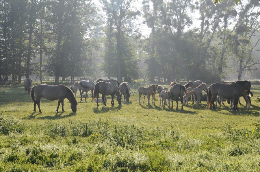 Klacze hodowlane z przychówkiem w stadninie koników polskich w Popielnie przebywają na pastwiskach przez całą dobę od maja do końca października