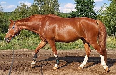 Koń z wrzodami