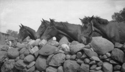 Konie kawaleryjskie