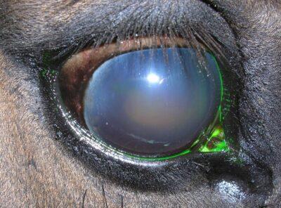 Przewlekłe nawracające zapalenie błony naczyniowej oka